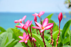 Beautiful pink plumeria flower stock images