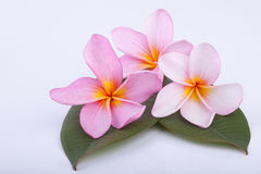 Beautiful pink plumeria, frangipani flowers with green leaves Royalty Free Stock Photography
