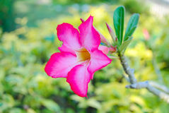 Beautiful pink plumeria. Lovely pink plumeria decorate your garden Stock Photography