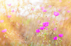 Beautiful pink poppies in grassy field with sunlight  streaming Royalty Free Stock Photos