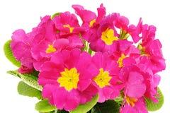Beautiful pink primula flower Stock Photos