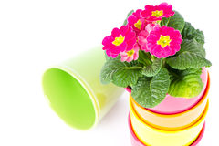 Beautiful pink primulas in colorful buckets Royalty Free Stock Photos