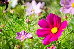 Beautiful pink purple color cosmos flowers in a spring season at a botanical garden. A Beautiful pink purple color cosmos flowers in a spring season at a royalty free stock photography