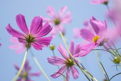 Beautiful pink or purple cosmos Cosmos Bipinnatus flowers garden in soft focus at the park with blurred cosmos flower on blue sk Royalty Free Stock Photography