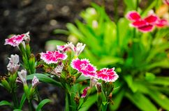 Beautiful pink-purple Dianthus barbatus Sweet William flowers in a spring season at a botanical garden. Royalty Free Stock Photography