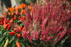 Beautiful pink and purple flowers knospenheide and calluna vulgaris and capsicum also called decorative peppers in. Wooden boxes in street store royalty free stock photography