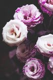 Beautiful pink and purple roses on dark background. Beautiful pink purple roses on dark background. Closeup view selective focus stock photography
