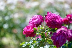 Beautiful pink and purple roses flowers with blurred green background royalty free stock image