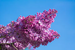Beautiful pink, purple and violet lilac flowers blossom closeup. Over blue sky Royalty Free Stock Photography