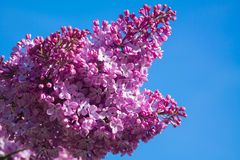 Beautiful pink, purple and violet lilac flowers blossom closeup. Over blue sky Royalty Free Stock Images