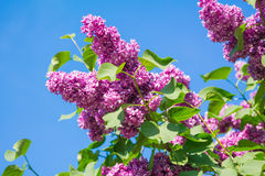 Beautiful pink, purple and violet lilac flowers blossom closeup. Over blue sky Royalty Free Stock Photos