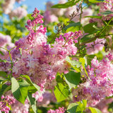 Beautiful pink, purple and violet lilac flowers blossom closeup. Over blue sky Stock Photo
