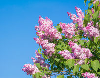 Beautiful pink, purple and violet lilac flowers blossom closeup. Over blue sky Stock Photos