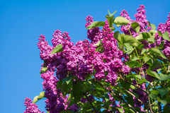 Beautiful pink, purple and violet lilac flowers blossom closeup. Over blue sky Stock Photography