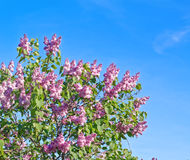 Beautiful pink, purple and violet lilac flowers blossom closeup. Over blue sky Royalty Free Stock Image