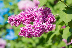 Beautiful pink, purple and violet lilac flowers in green leaves. Blossom macro Stock Image