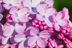 Beautiful pink, purple and violet lilac flowers in green leaves Royalty Free Stock Images