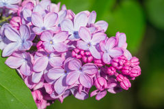 Beautiful pink, purple and violet lilac flowers in green leaves Stock Image
