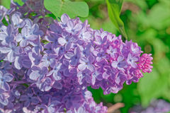 Beautiful pink, purple and violet lilac flowers in green leaves. Blossom macro Stock Photos