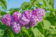Beautiful pink, purple and violet lilac flowers in green leaves. Blossom macro Royalty Free Stock Image
