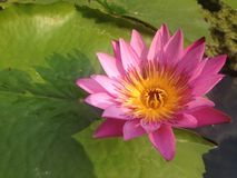 Beautiful pink, purple waterlily Stock Images