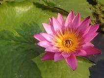 Beautiful pink, purple waterlily Stock Images