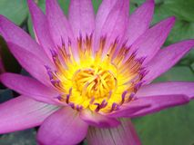 Beautiful pink, purple waterlily Royalty Free Stock Images