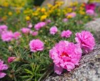Beautiful  pink pusley flower Royalty Free Stock Photo