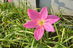 Beautiful pink rain lily flower Stock Images