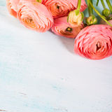 Beautiful pink ranunculus bouquet on turquoise Stock Images