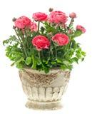 Beautiful pink ranunculus plant in vintage pot Stock Photos