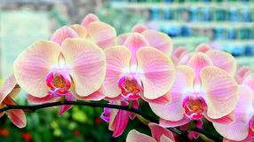 Beautiful pink rchids Royalty Free Stock Images