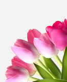 Beautiful Pink Realistic Tulip Background Vector. Illustration EPS10 Stock Images