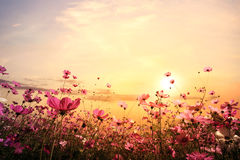 beautiful pink and red cosmos flower field with sunset stock photo