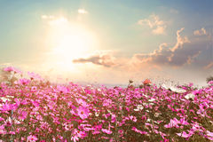 Beautiful pink and red cosmos flower field with sunshine royalty free stock images