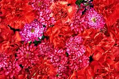 Beautiful pink and red  flowers background. Aster flowers Stock Image