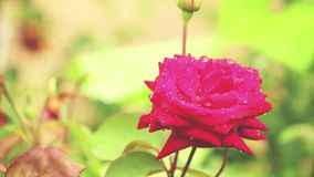 Beautiful pink red flowers with water drops in the garden. Rose in the rain, close up, dynamic scene, toned video. Beautiful pink red flowers with water drops stock video