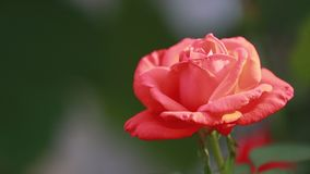 Beautiful pink red flowers with water drops in the garden. Rose in the rain dew, close up, dynamic scene, toned video. Beautiful pink red flowers in the garden stock video