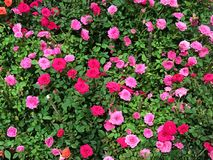 Beautiful pink and red miniature rose or fairy rose in flower sh Royalty Free Stock Image