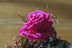 Beautiful Pink Red Rose in a vase surrounded with fern. stock photos