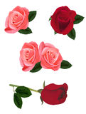 Beautiful pink and red roses. Stock Image