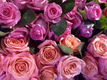 Beautiful pink and red roses royalty free stock image