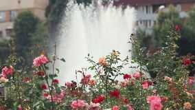 Beautiful pink red roses in the city square near the fountain. Sunny summer day, light breeze, dynamic scene, toned video. 50fps stock video