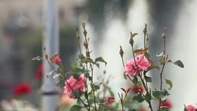 Beautiful pink red roses in the city square near the fountain. Sunny summer day, light breeze, dynamic scene, toned video. 50fps stock footage