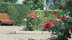 Beautiful pink red roses in the city square. Sunny summer day, light breeze, dynamic scene, toned video. 50fps stock video