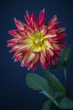 Beautiful pink, red  and yellow Dahlia Royalty Free Stock Photos