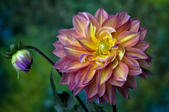 Beautiful pink, red  and yellow Dahlia Stock Image