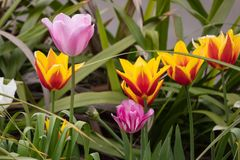 Beautiful pink, red and yellow Tulip / Tulipa flowers in the spring. Season with leaves behind Stock Image