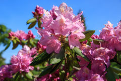 Beautiful pink Rhododendron. Beautiful pink Rhododendron on blue background. Latvia Royalty Free Stock Images