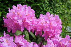 Beautiful pink Rhododendron. Stock Images